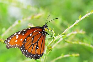 細い枝にとまっている蝶の写真素材 [FYI03129811]