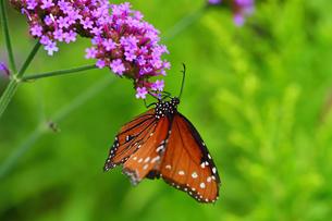 小さな花から蜜を吸う蝶の写真素材 [FYI03129814]
