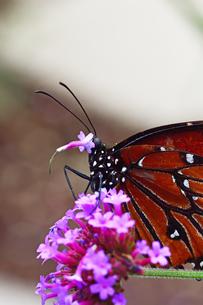 蜜を吸っていた小さな花が吻に付いたままとれてしまったの写真素材 [FYI03129815]