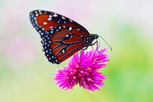 花にとまり蜜を吸うジョオウマダラの写真素材 [FYI03129822]