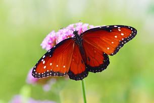 花にとまって蜜を吸うジョオウマダラの写真素材 [FYI03129870]