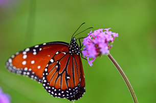 小さな花の固まりにとまり蜜を吸うジョオウマダラの写真素材 [FYI03129872]