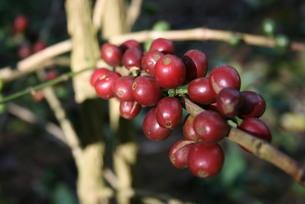 ブラジルで栽培されているコーヒーの写真素材 [FYI03129891]