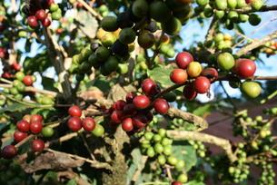 ブラジルで栽培されているコーヒーの写真素材 [FYI03129894]