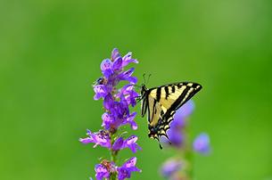 紫の花から蜜を吸う蝶の写真素材 [FYI03129901]