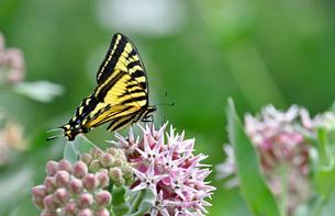 ピンクの花の固まりにとまって蜜を吸う蝶の写真素材 [FYI03130040]