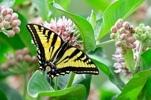 蜜を吸う蝶の写真素材 [FYI03130061]