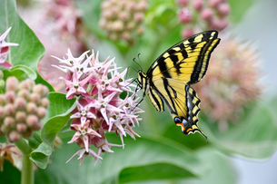 トウワタ属の草の花に蜜を求めてとまる蝶の写真素材 [FYI03130090]
