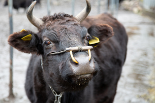 和牛の写真素材 [FYI03130657]