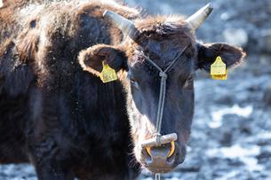 和牛の写真素材 [FYI03130661]
