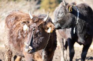 和牛の写真素材 [FYI03130662]