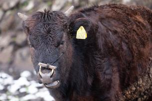 和牛の写真素材 [FYI03130674]