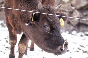 和牛の写真素材 [FYI03130676]