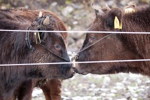 和牛の写真素材 [FYI03130699]