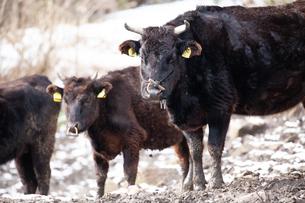 和牛の写真素材 [FYI03130703]
