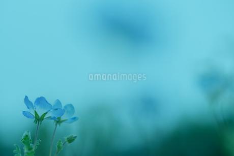 ネモフィラ写真 の写真素材 [FYI03130975]