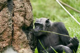チンパンジーの写真素材 [FYI03131023]