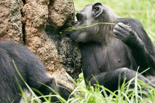 チンパンジーの写真素材 [FYI03131026]