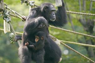チンパンジーの写真素材 [FYI03131034]