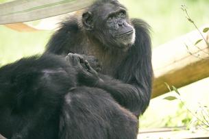 チンパンジーの写真素材 [FYI03131037]