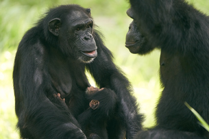 チンパンジーの写真素材 [FYI03131042]