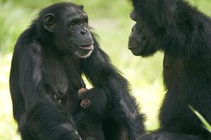 チンパンジーの写真素材 [FYI03131044]
