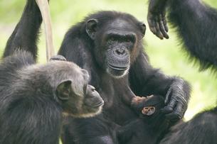 チンパンジーの写真素材 [FYI03131049]