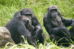 チンパンジーの写真素材 [FYI03131055]