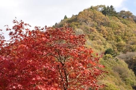華やかな紅葉の写真素材 [FYI03131122]