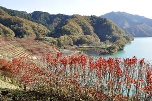 宮ヶ瀬湖 ドウダンツツジの紅葉と高取山の写真素材 [FYI03131135]