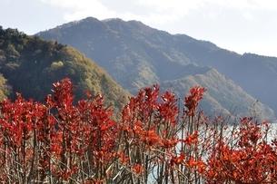宮ヶ瀬湖 ドウダンツツジの紅葉と高取山の写真素材 [FYI03131136]
