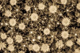 カモミール・マーガレットの壁紙の写真素材 [FYI03131227]