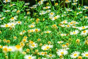 白と黄色の花(デイジー・マーガレット・カモミール)の写真素材 [FYI03131238]