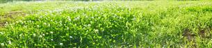 クローバーが茂る空き地のパノラマ風景の写真素材 [FYI03131300]
