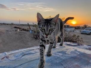 三毛猫と夕日の写真素材 [FYI03131305]