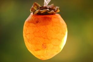 干し柿の風景の写真素材 [FYI03131442]