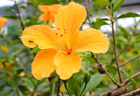 ハイビスカス 黄色  Yellowの写真素材 [FYI03131671]