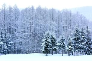 富良野の森 雪景色の写真素材 [FYI03131789]