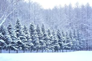 富良野の森 雪景色の写真素材 [FYI03131792]