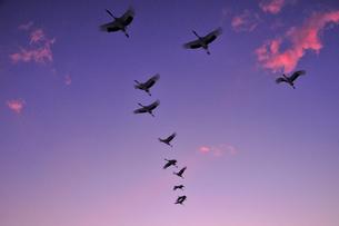 夕暮れ時ねぐらに帰るタンチョウの群れの写真素材 [FYI03132075]
