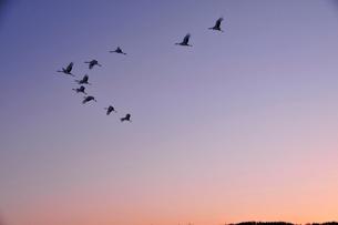 夕暮れ時ねぐらに帰るタンチョウの群れの写真素材 [FYI03132082]