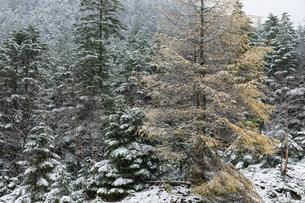 晩秋の森に積もる雪の写真素材 [FYI03132182]