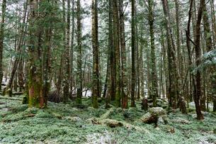 新雪の苔の森の写真素材 [FYI03132185]