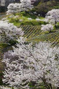 陸郷、夢農場の桜の写真素材 [FYI03132192]