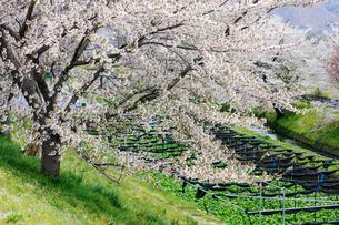 桜とワサビ田の風景の写真素材 [FYI03132193]