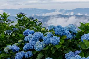 大川原高原のアジサイの写真素材 [FYI03132200]
