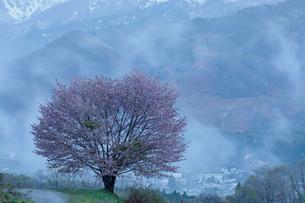 白馬村野平地区のオオヤマサクラの写真素材 [FYI03132211]