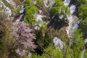 残雪の山桜と新緑の写真素材 [FYI03132218]