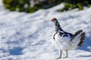残雪に佇む雄の雷鳥の写真素材 [FYI03132236]