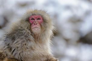 冬のニホンザルの写真素材 [FYI03132248]